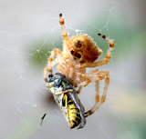 Spider with Insect