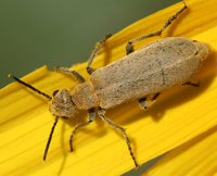 Brown-gray blister beetle