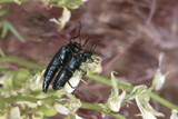 Blister Beetles