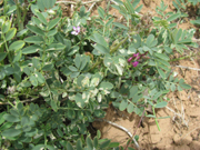 Leafminer Damage in Utah Sweetvetch