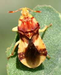 Ambush Bug
