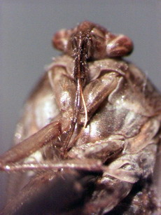 Mouthparts on a Lygus Bug