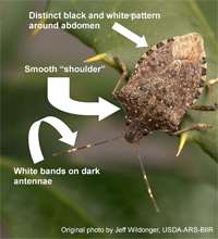 Brown Marmorated Stink Bug ID