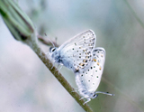 Melissa's Blue Butterflies Mating