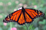 Moarch Butterfly