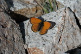 Snow's Copper Butterfly