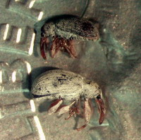 Weevil Adults